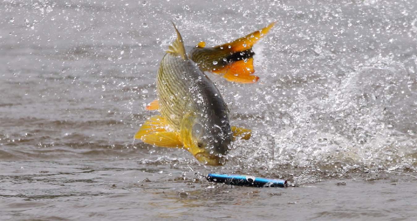 Dourado atacando na superfície.